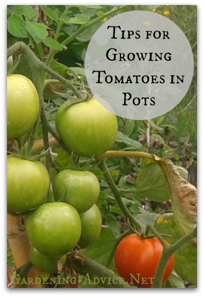 Growing Tomatoes In Pots - How To Grow Tomatoes Indoors Or Patios