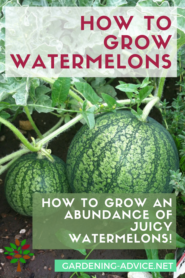 Growing Watermelons Learn The Tricks And How To S