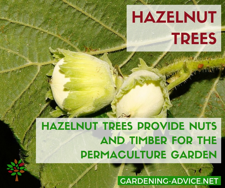 The Hazelnut Tree - Plant Filberts For Nuts And Wildlife #gardening #gardeningtips #permaculture  #homesteadgarden #organicgardening #homesteading #urbangardening #vegetablegardening #growingfood