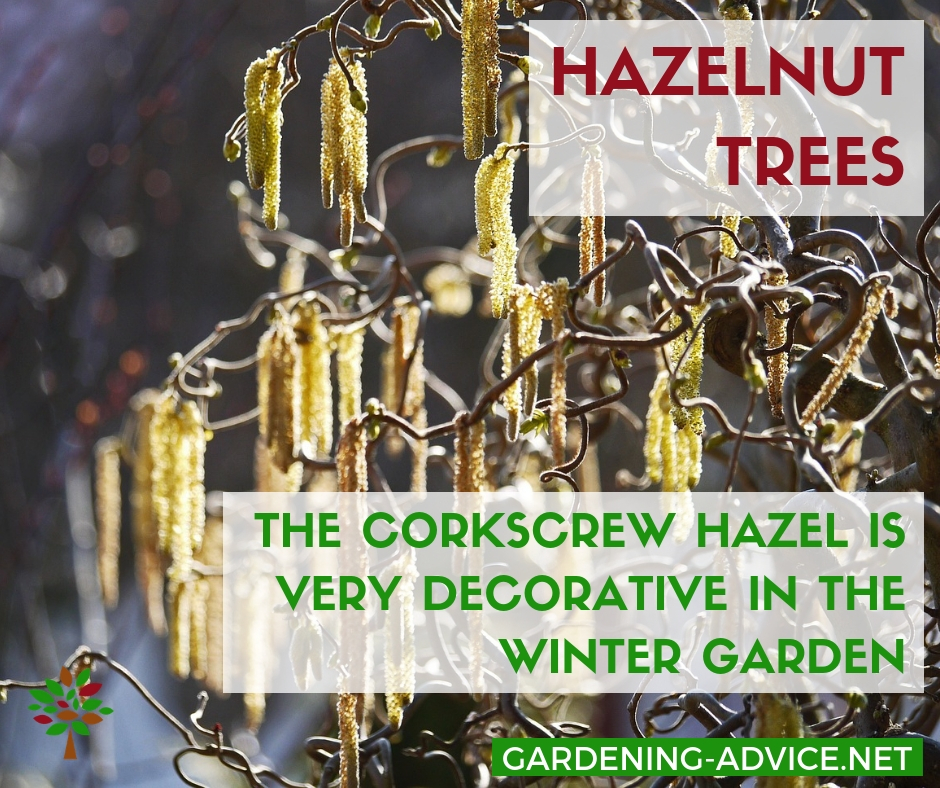 Corkscrew Hazel in the winter garden #gardening #gardeningtips #permaculture  #homesteadgarden #organicgardening #homesteading #urbangardening #vegetablegardening #growingfood