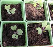 how to grow brussel sprouts seedlings
