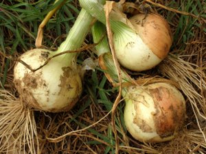 how to grow onions in australia