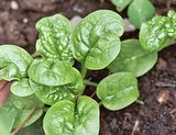 Healthy Spinach Plants