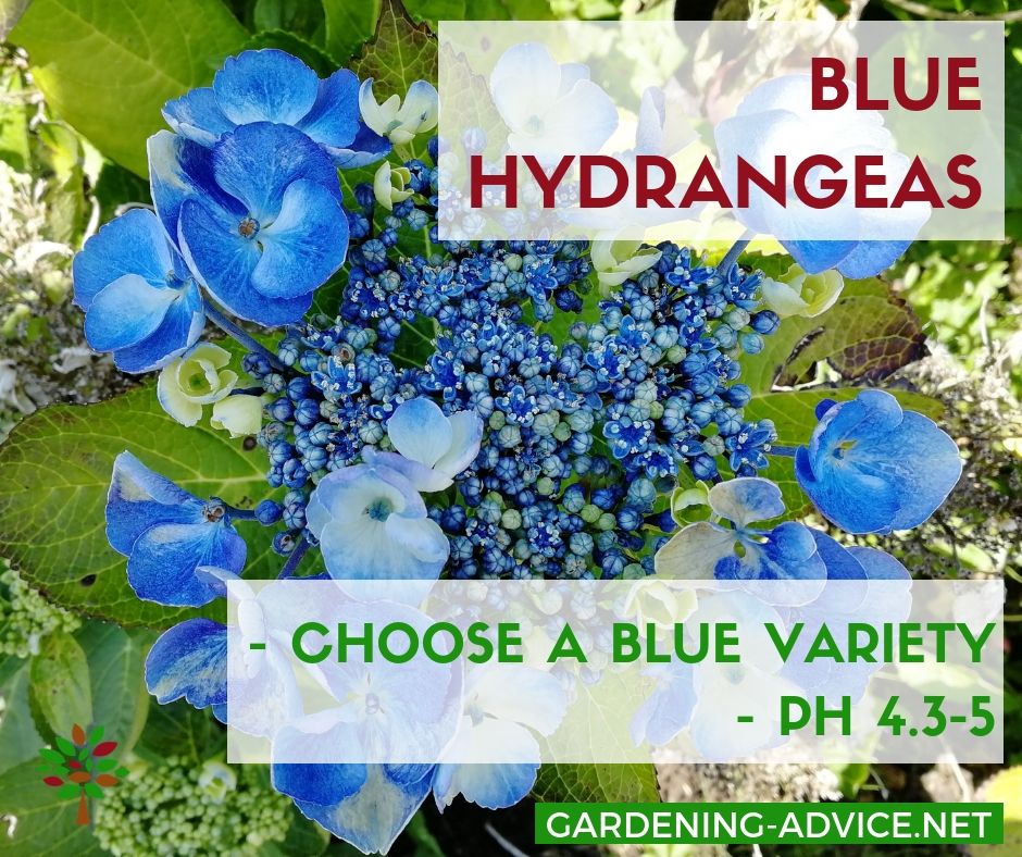 What makes Hydrangea flowers turn blue? #gardening #gardeningtips #flowergardening  #flowergarden #organicgardening #flowers #hydrangeas