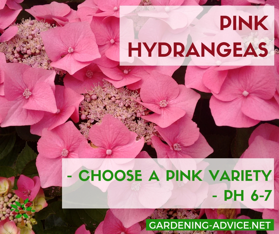 What makes Hydrangea flowers turn pink? #gardening #gardeningtips #flowergardening  #flowergarden #organicgardening #flowers #hydrangeas