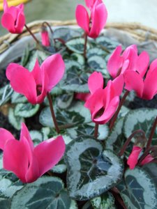 Superbe Cyclamen Are Charming Little House Plants That Come In Many Different  Colors. Read Up About Cyclamen Plant Care Here. Red Poinsettia Flower