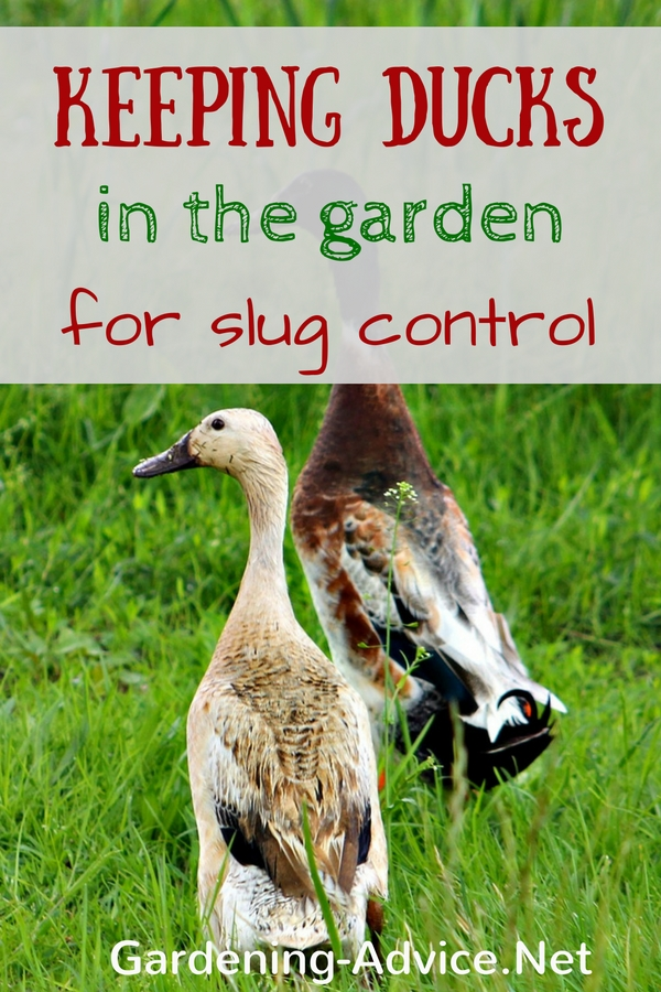 8 Organic Slug Control Tips Get Rid Of Slugs With