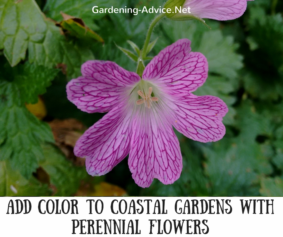 Add color to coastal gardens with perennial flowers! #gardeningtips #gardening #coastalgarden #flowergardening