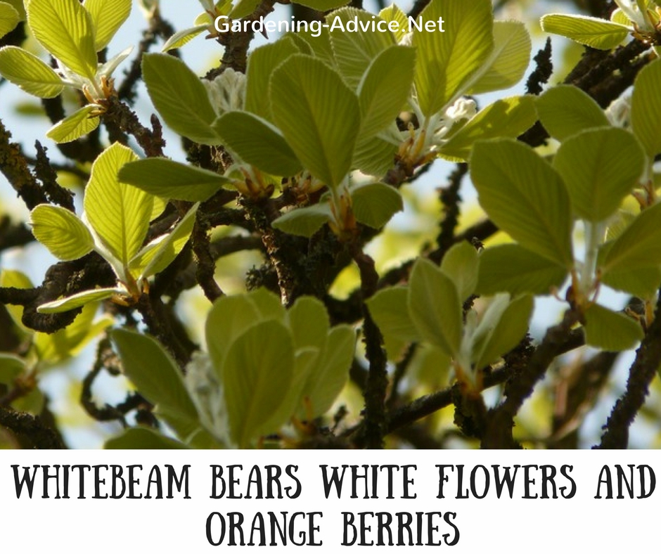 White Flowering Trees List Flowers Healthy