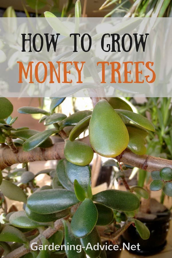 Money Tree Plant Care - How To Look After Your Jade Plant
