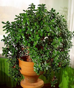 Fiddle Fig Tree Outdoors