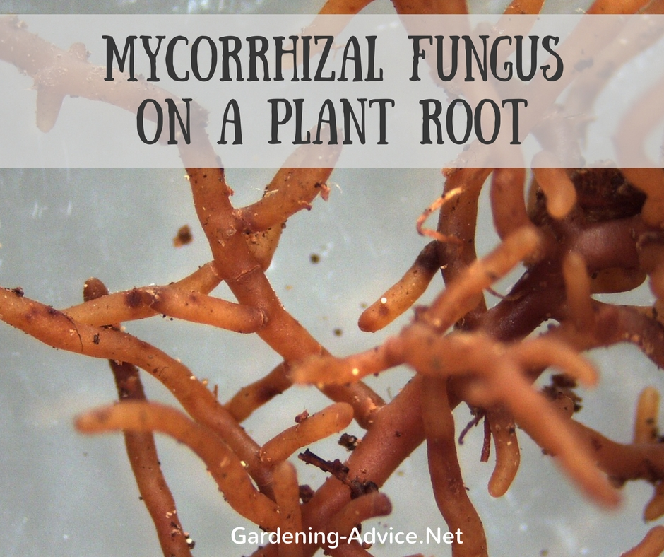 Mycorrhizal Fungus On A Plant Root
