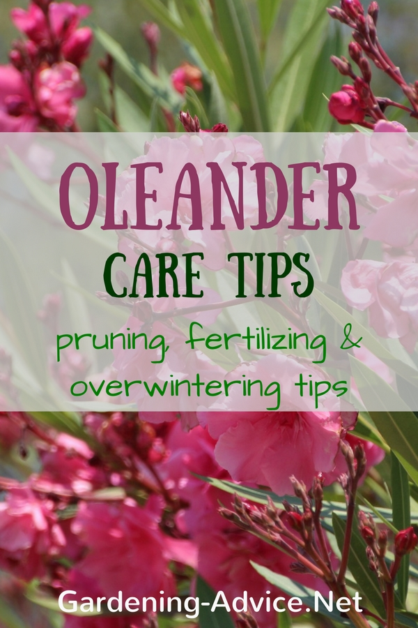 Oleander Plant Care Instructions