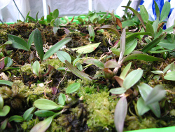small baby orchids