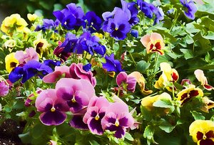 pansy flowers mixed colors