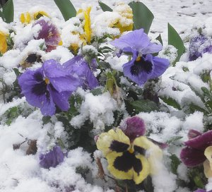 winter pansies under snow