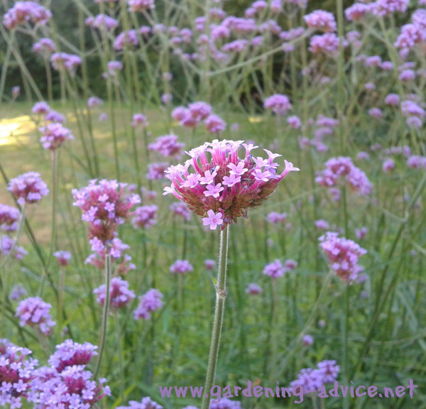 Perennial garden plants flower gardening advice for for Different garden plants