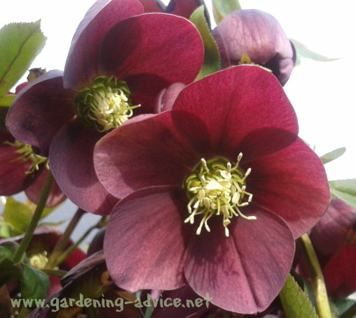 Perennial garden plants flower gardening advice for colorful gardens hellebore flower mightylinksfo