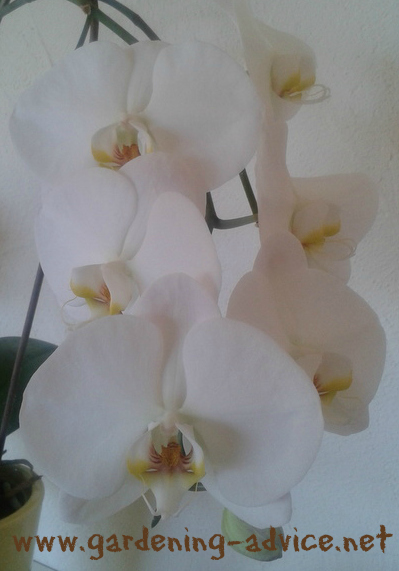 Phalaenopsis Orchid Care Instructions