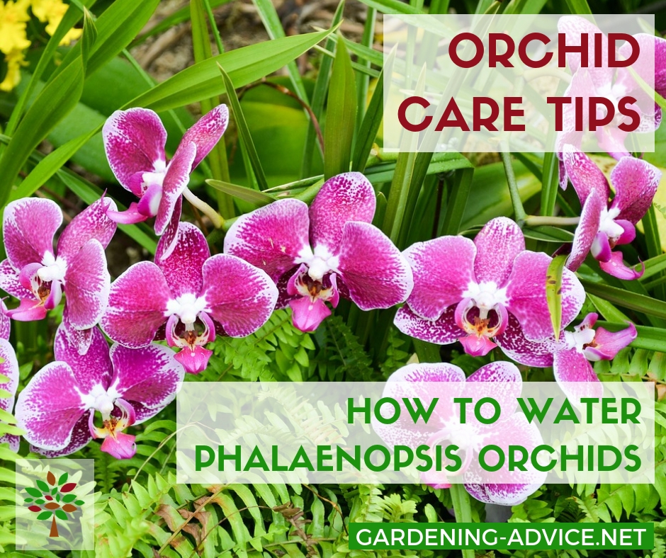 How To Care For Phalaenopsis Orchids #gardening #gardeningtips #houseplants  #houseplantcare #indoorgardening #plants #orchids #orchidcare
