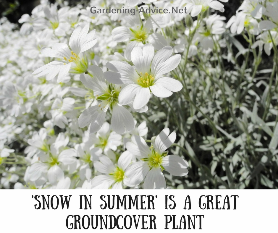 Image Result For How To Grow Snow In Summer Plants Where They Thrive