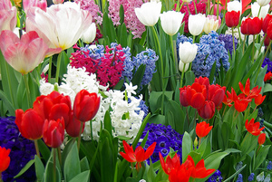 planting bulbs-colorful spring bulbs
