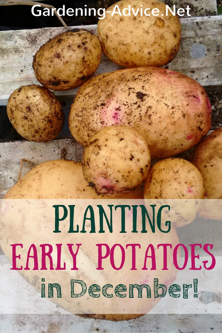 planting early potatoes