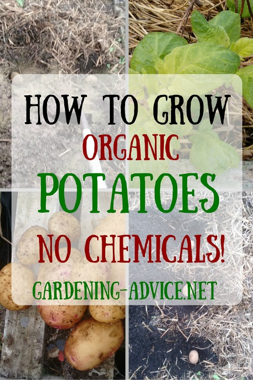 How To Grow Organic Potatoes