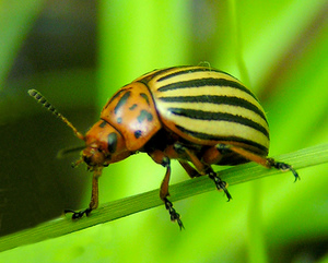 Colorado Potato Beetle (Leptinotarsa decemlineata)