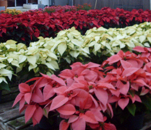 poinsettias colors