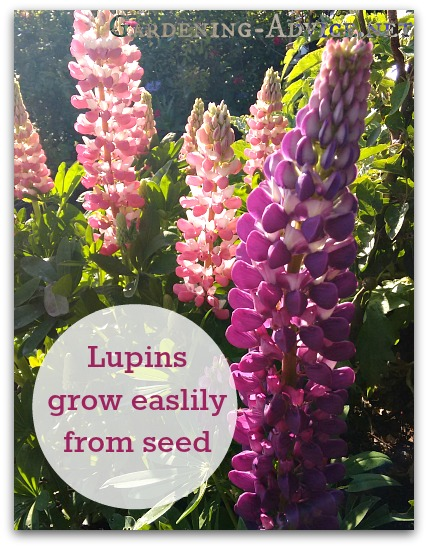"""Lupins"""