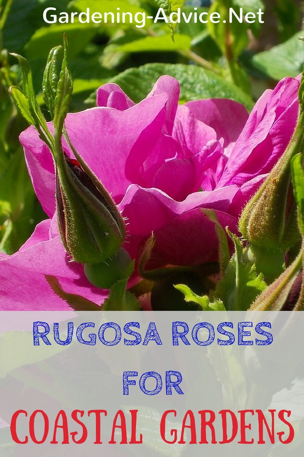 Rugosa Roses For Coastal Gardens