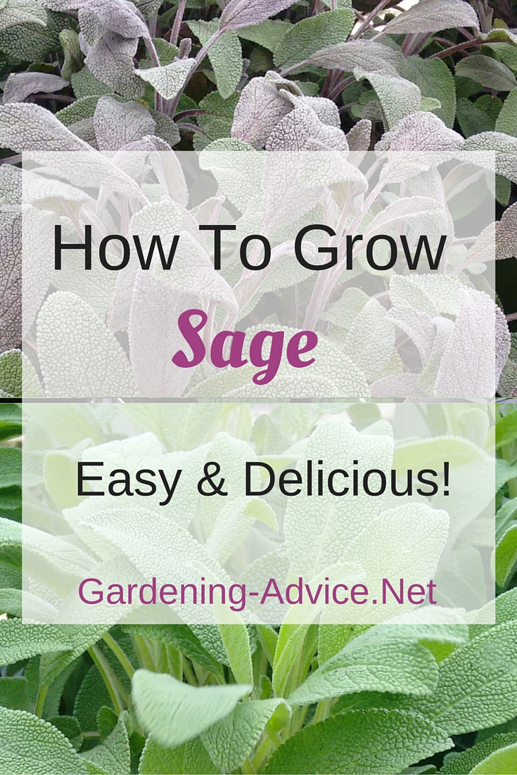 the sage plant how to grow sage in your culinary herb garden
