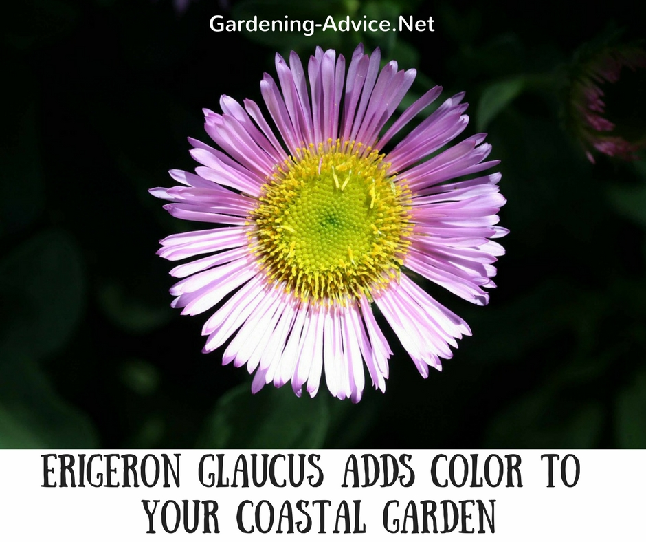 Erigeron glaucus adds color to your seaside garden. #gardeningtips #gardening #coastalgarden #flowergardening