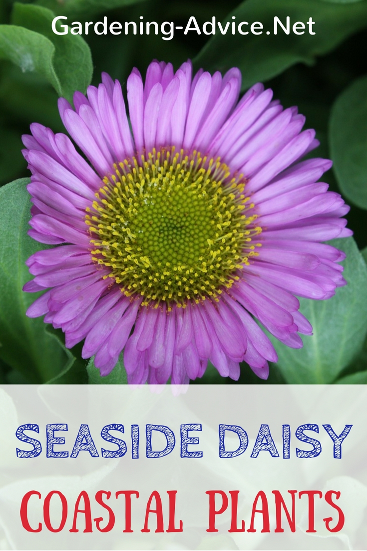 Seaside daisy a tough rock garden plant for coastal gardens seaside daisy izmirmasajfo Choice Image