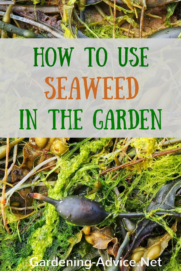 how to use seaweed in the garden