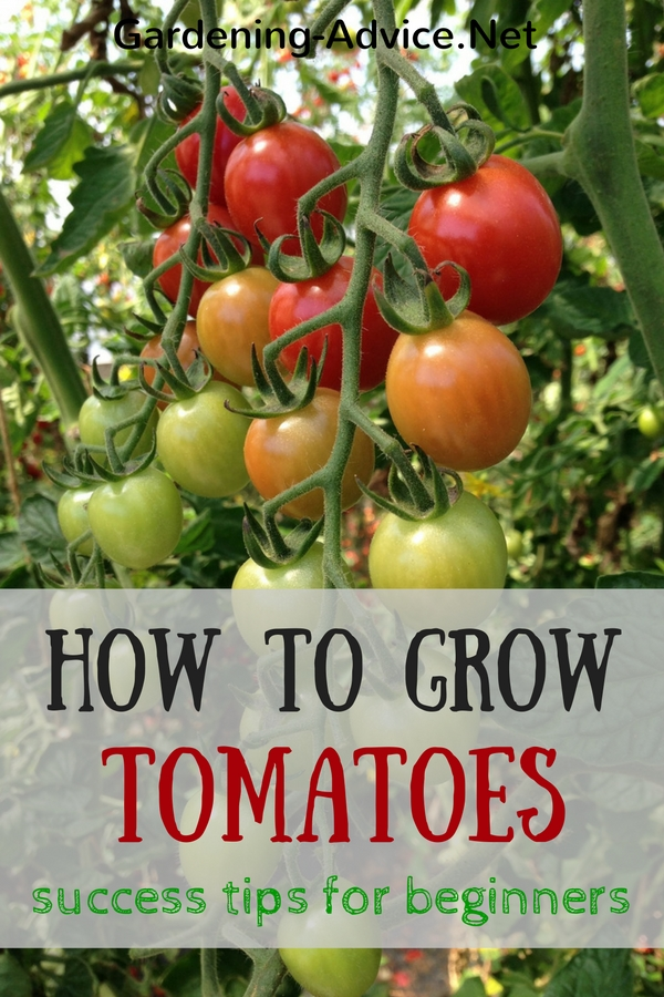 tomato growing tips for beginners, Natural flower