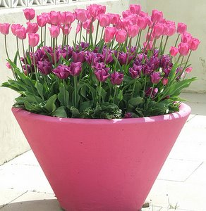 Tulips Care And Maintenance