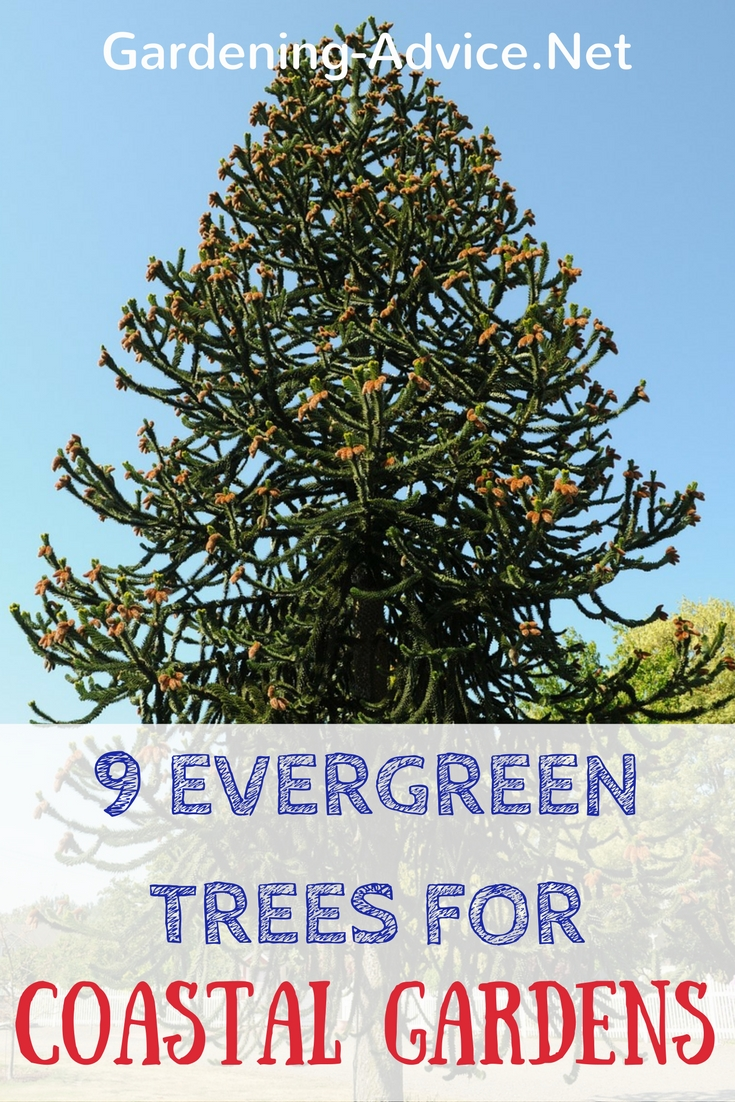 Suitable types of evergreen trees for seaside gardens for Gardening advice
