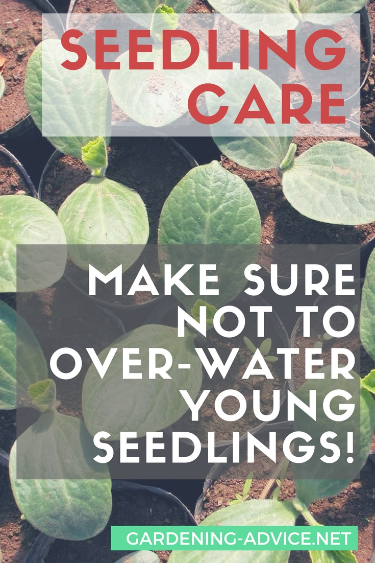 Seedling care tips for beginners #gardeningtips #organicgardening #urbangardening #homesteadgarden #homesteading #gardening