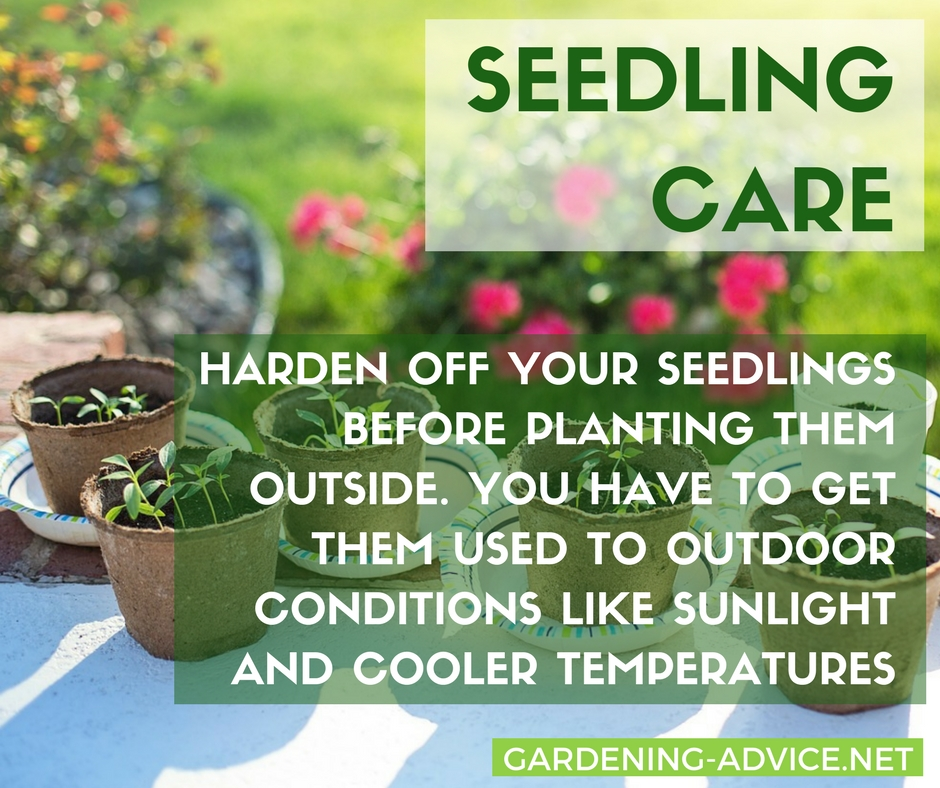 Harden off your seedlings before planting them outside! #gardeningtips #organicgardening #urbangardening #homesteadgarden #homesteading #gardening