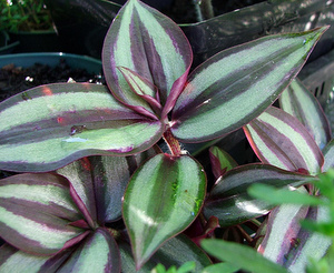 striped wandering jew plant
