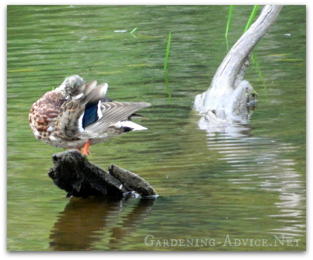 wild mallard duck in pond
