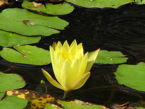 mexican water lily