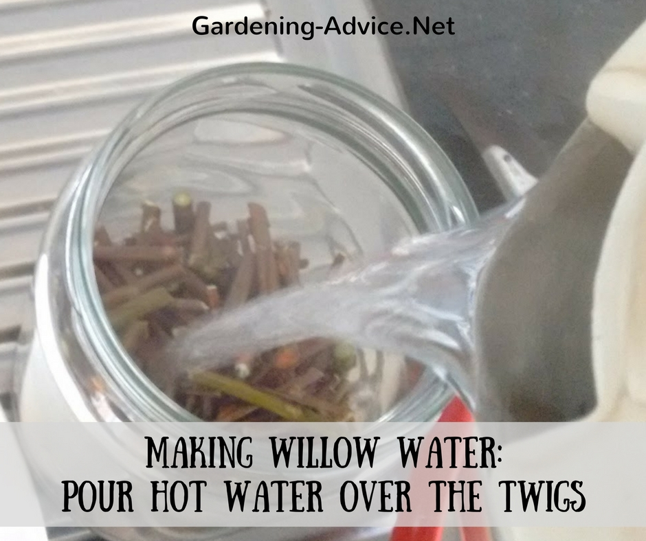 making willow water