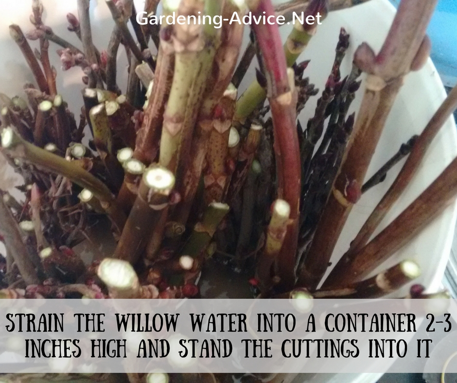hardwood cuttings in willow water