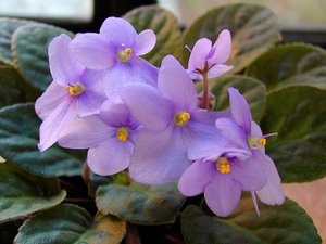 lilac african violet