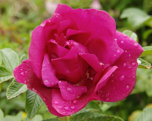 care of roses, pink rose flower