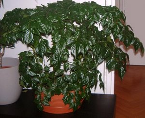 china doll house plant