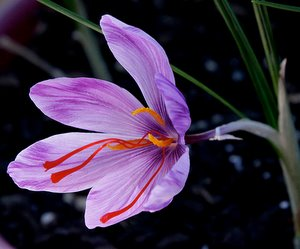 Crocus sativus - The Saffron Crocus